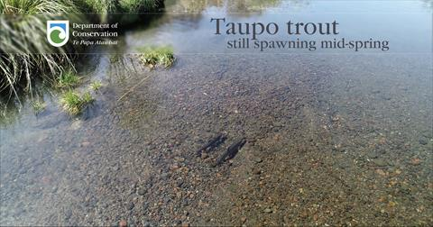 Trout still spawning in the Taupo region in mid-October